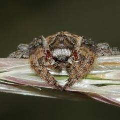 Dolophones sp. (genus) (Wrap-around spider) at Mount Ainslie - 1 Jan 2021 by TimL