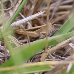 Unidentified Grasshoppers, Crickets & Katydids (Orthoptera) (TBC) at WREN Reserves - 5 Jan 2021 by Kyliegw