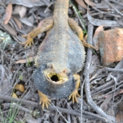 Pogona barbata (Eastern Bearded Dragon) at Yass River, NSW - 6 Nov 2020 by 120Acres
