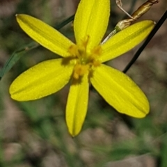 Tricoryne elatior (Yellow Rush Lily) at Bass Gardens Park, Griffith - 5 Jan 2021 by SRoss