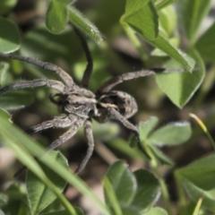 Tasmanicosa sp. (genus) (Unidentified Tasmanicosa wolf spider) at Mount Ainslie - 12 Oct 2020 by AlisonMilton