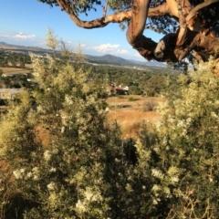 Bursaria spinosa (Native Blackthorn) at Cooleman Ridge - 5 Jan 2021 by Nat