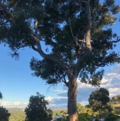 Eucalyptus polyanthemos (Red Box) at Cooleman Ridge - 5 Jan 2021 by Nat
