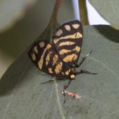 Asura lydia (Lydia Lichen Moth) at Cook, ACT - 1 Dec 2020 by AlisonMilton