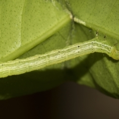 Noctuidae sp. unclassified IMMATURE moth at Higgins, ACT - 14 Mar 2019