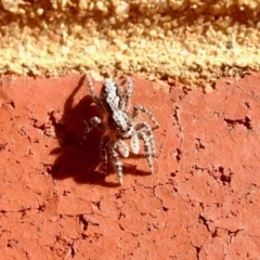 Clynotis severus (Stern Jumping Spider) at Aranda, ACT - 5 Jan 2021 by KMcCue
