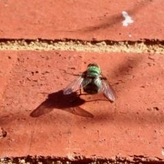 Rutilia sp. (genus) (A Rutilia bristle fly, subgenus unknown) at Aranda, ACT - 5 Jan 2021 by KMcCue