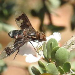 Balaana sp. (genus) (Bee Fly) at ANBG - 4 Jan 2021 by HelenCross