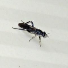 Exaireta spinigera (Garden Soldier Fly) at Macarthur, ACT - 5 Jan 2021 by RodDeb