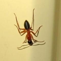 Camponotus consobrinus (Banded sugar ant) at Macarthur, ACT - 5 Jan 2021 by RodDeb