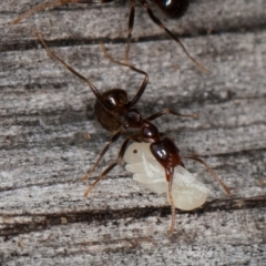 Papyrius sp (undescribed) (Hairy Coconut Ant) at Namadgi National Park - 4 Jan 2021 by rawshorty