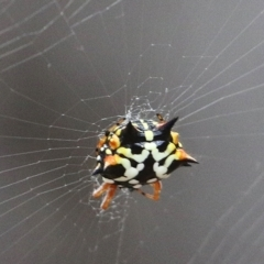 Austracantha minax (Christmas Spider, Jewel Spider) at Jack Perry Reserve - 5 Jan 2021 by Kyliegw