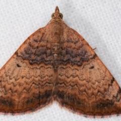 Chrysolarentia mecynata (Mecynata Carpet Moth) at Melba, ACT - 18 Dec 2020 by kasiaaus