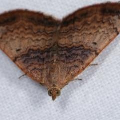 Chrysolarentia mecynata at Melba, ACT - 19 Dec 2020