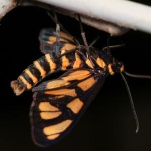 Amata (genus) at Melba, ACT - 19 Dec 2020