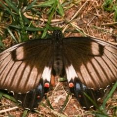 Papilio aegeus (Orchard Swallowtail) at Melba, ACT - 18 Dec 2020 by kasiaaus