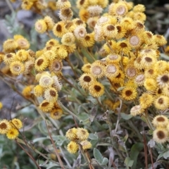 Chrysocephalum apiculatum (Common Everlasting) at Jack Perry Reserve - 5 Jan 2021 by Kyliegw