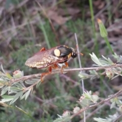 Perga sp. (genus) (Sawfly or Spitfire) at Black Mountain - 24 Nov 2020 by Tdoh