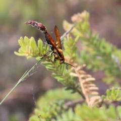 Guerinius shuckardi (Smooth flower wasp) at Black Mountain - 5 Jan 2021 by Tdoh
