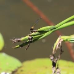 Nososticta solida (Orange Threadtail) at Lake Ginninderra - 5 Jan 2021 by Tammy