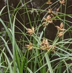 Bolboschoenus fluviatilis (Marsh Club-rush) at Hackett, ACT - 5 Jan 2021 by abread111