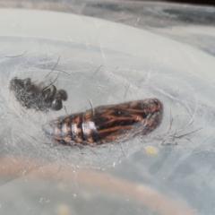 Nyctemera amicus (Senecio or Magpie moth) at Isaacs, ACT - 3 Jan 2021 by Mike