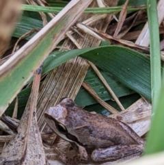 Litoria sp. (species) (A tree frog) at Wodonga - 6 Jan 2021 by ChrisAllen