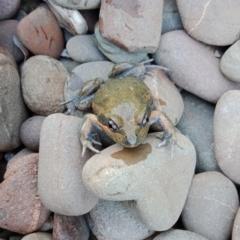 Limnodynastes dumerilii (Eastern Banjo Frog) at Wodonga - 13 Nov 2020 by geekay