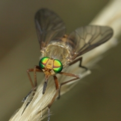 Ectenopsis sp. (March fly) at Majura, ACT - 2 Jan 2021 by TimL