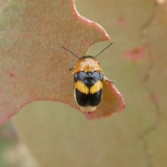 Aporocera (Aporocera) flaviventris (A case bearing leaf beetle) at Tuggeranong Hill - 3 Jan 2021 by Owen