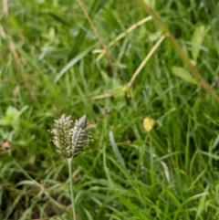 Eleusine tristachya (Goose Grass, Crab Grass) at Hackett, ACT - 5 Jan 2021 by abread111