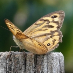 Heteronympha merope (Common Brown) at Hughes, ACT - 6 Jan 2021 by JackyF