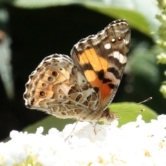 Vanessa kershawi (Australian Painted Lady) at Hughes, ACT - 6 Jan 2021 by JackyF