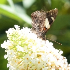 Vanessa itea (Yellow Admiral) at Hughes, ACT - 6 Jan 2021 by JackyF