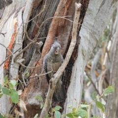 Callocephalon fimbriatum (Gang-gang Cockatoo) at Hughes Grassy Woodland - 3 Jan 2021 by JackyF