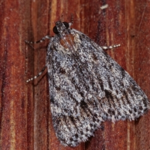 Spectrotrota fimbrialis at Melba, ACT - 19 Dec 2020