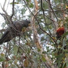 Callocephalon fimbriatum (Gang-gang Cockatoo) at Red Hill Nature Reserve - 3 Jan 2021 by JackyF