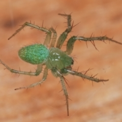Araneus talipedatus (Slender green orb-weaver) at Melba, ACT - 18 Dec 2020 by kasiaaus