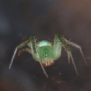 Araneus talipedatus at Melba, ACT - 19 Dec 2020