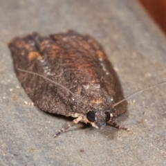 Tortricinae sp. (subfamily) (A tortrix moth) at Melba, ACT - 18 Dec 2020 by kasiaaus