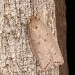 Heliocausta undescribed species (A concealer moth) at Melba, ACT - 18 Dec 2020 by kasiaaus