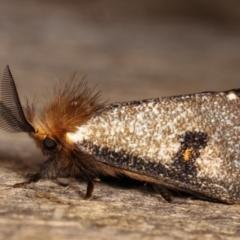 Epicoma contristis (Yellow-spotted Epicoma Moth) at Melba, ACT - 19 Dec 2020 by kasiaaus