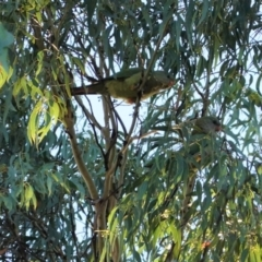 Polytelis swainsonii (Superb Parrot) at Point One - 5 Jan 2021 by JackyF