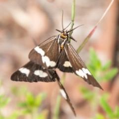 Nyctemera amicus (Senecio or Magpie moth) at Coree, ACT - 5 Jan 2021 by SWishart