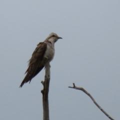 Cacomantis pallidus (Pallid Cuckoo) at Gordon, ACT - 5 Jan 2021 by RodDeb