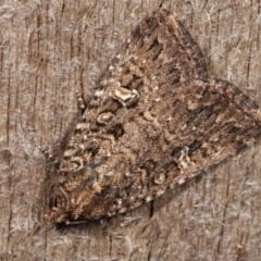 Hypoperigea tonsa (A noctuid moth) at Melba, ACT - 19 Dec 2020 by kasiaaus