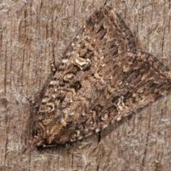 Hypoperigea tonsa (A noctuid moth) at Melba, ACT - 19 Dec 2020 by kasiaaus