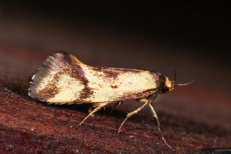 Isomoralla pyrrhoptera at Melba, ACT - 19 Dec 2020