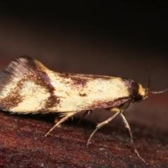 Isomoralla pyrrhoptera (A concealer moth) at Melba, ACT - 19 Dec 2020 by kasiaaus