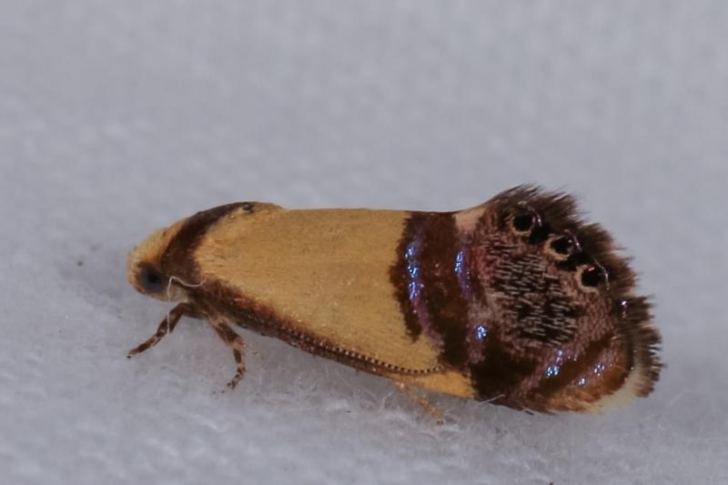 Eupselia satrapella and similar species at Melba, ACT - 19 Dec 2020